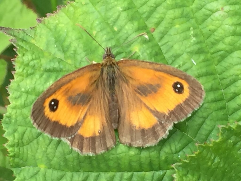 Gatekeeper Aldbury Nowers 12 Jul