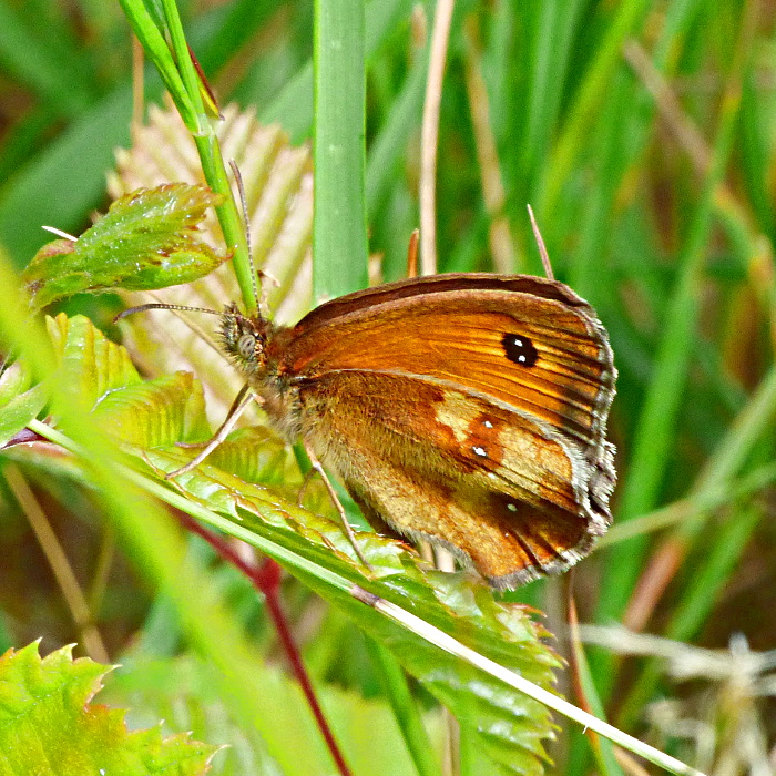 Gatekeeper Cannocks Wood 5 Jul