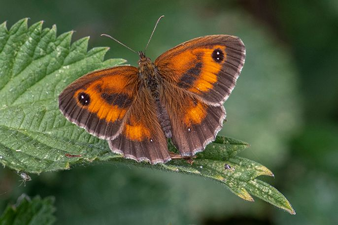Gatekeeper Norton Green Common 11 Jul