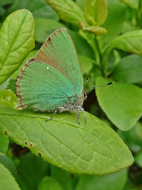 Green Hairstreak Bedfont Lakes Country Park 1 May