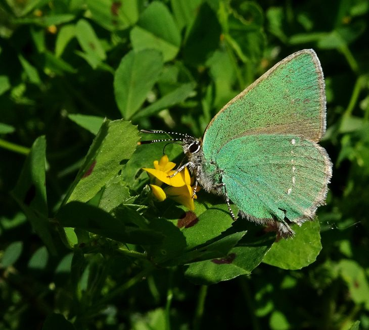 Green Hairstreak Bedfont Lakes 16 May