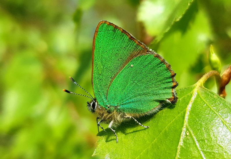 Green Hairstreak Hexton CP 22 Apr