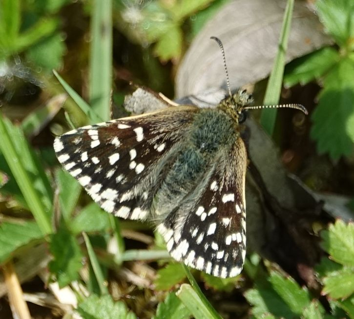 Grizzled Skipper Frogmore GP 7 May