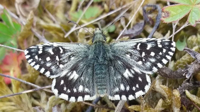 Grizzled Skipper Waterford Heath 30 Apr