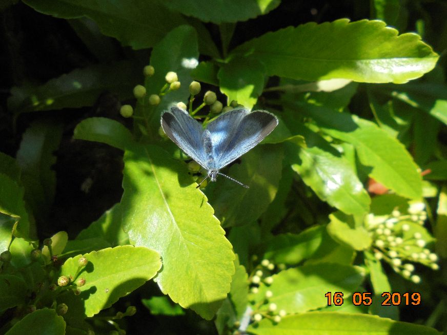 Holly Blue Hitchin 16 May
