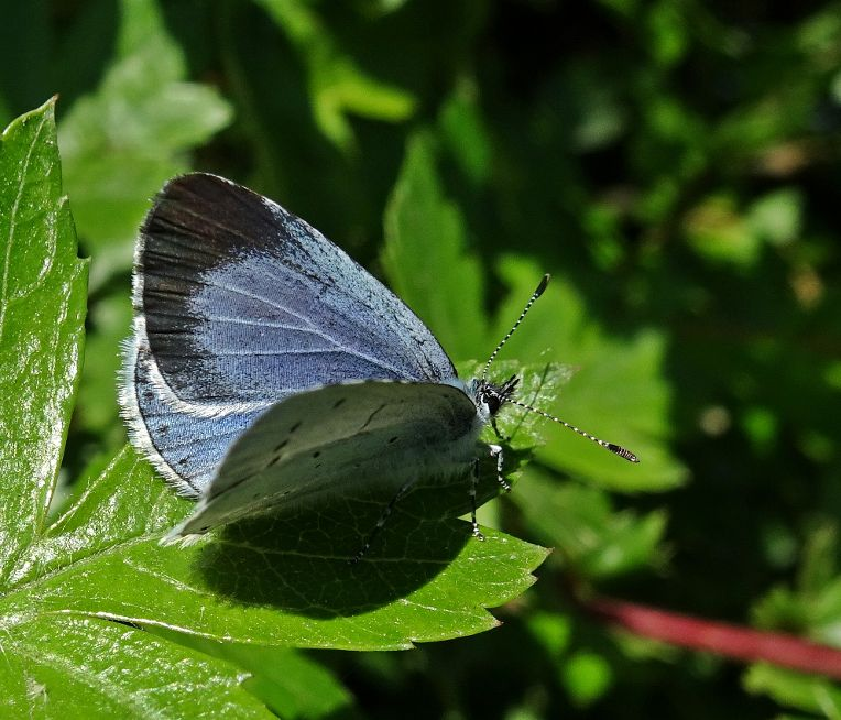 Holly Blue Stanwell Moor 2 May