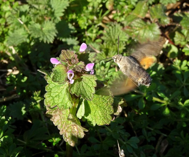 Hummingbird Hawk-moth Stanwell Moor 24 Feb