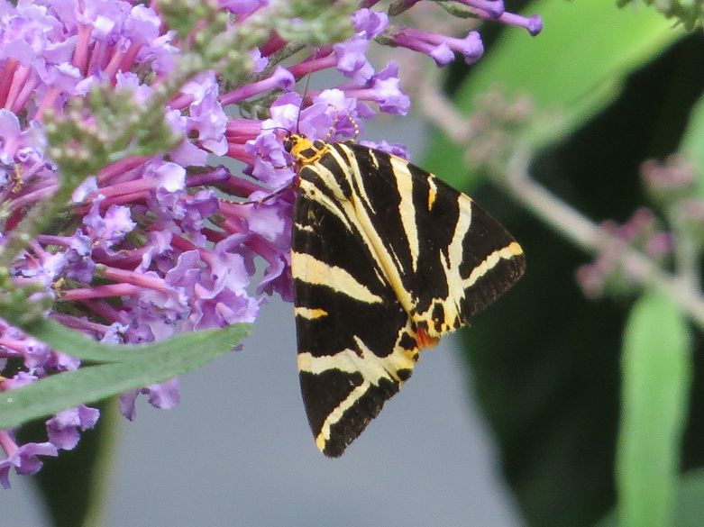 Jersey Tiger Amwell NR 6 Aug
