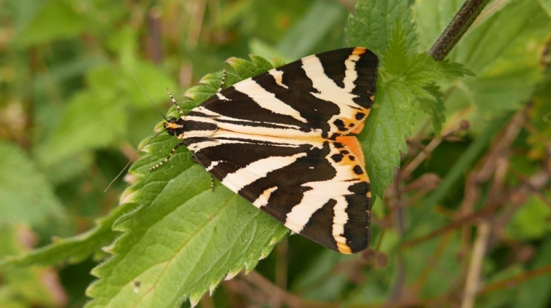 Jersey Tiger Bengeo 1 Aug