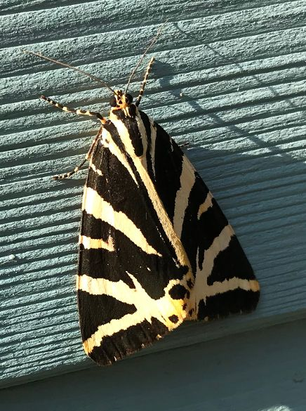 Jersey Tiger Broxbourne 14 Aug