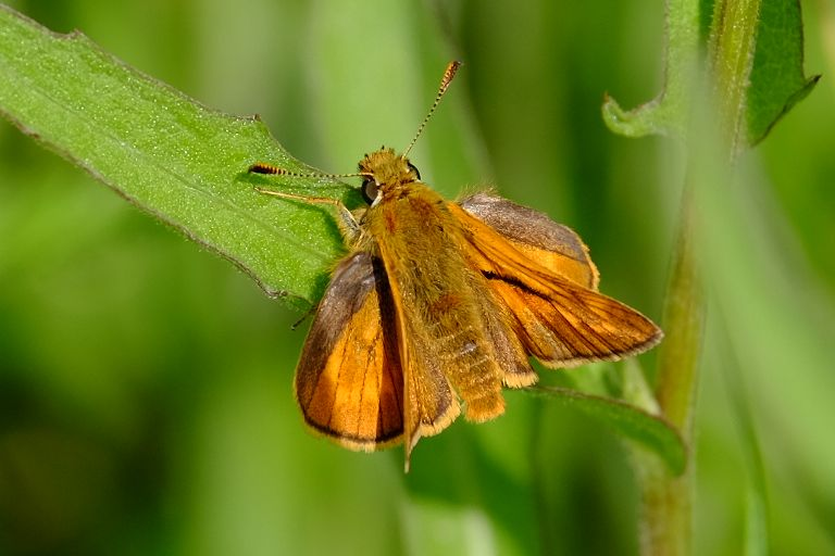 Large Skipper Alexandra Palace 5 Jun