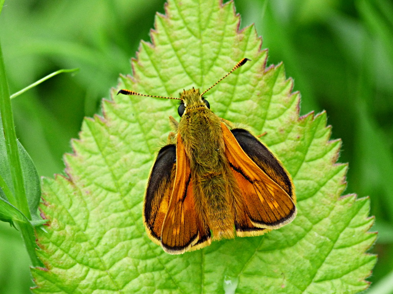 Large Skipper Norton Green Common 15 Jun
