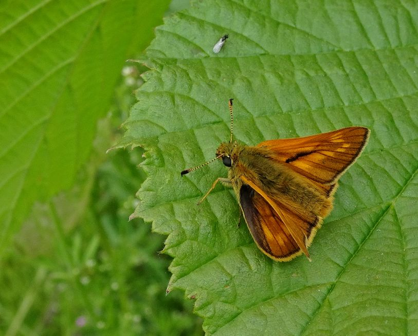 Large Skipper Stanwell Moor 20 May