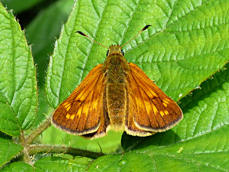 Large Skipper Watery Grove 18 Jun