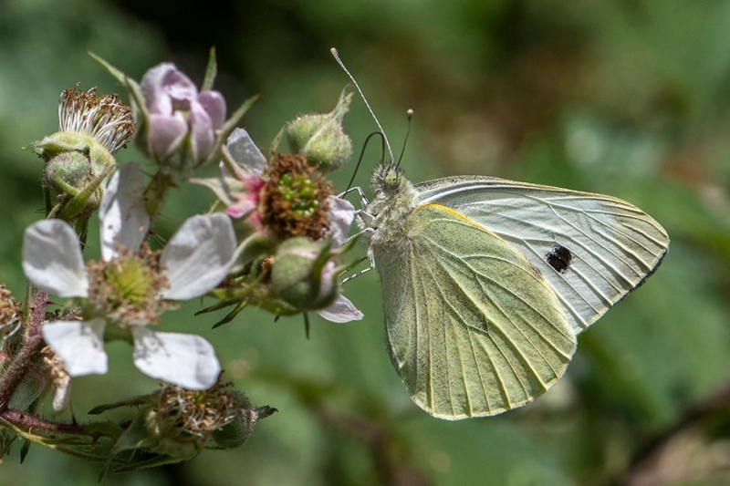 Large White Norton Green Common 11 Jul
