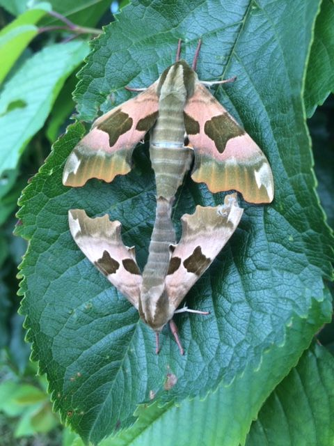 Lime Hawk-moth pair Muswell Hill 15 Jun
