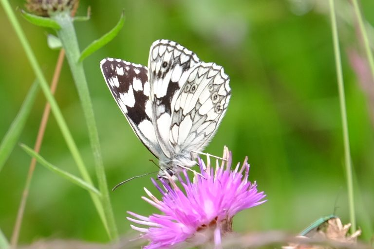 Marbled White Alexandra Palace 19 Jun