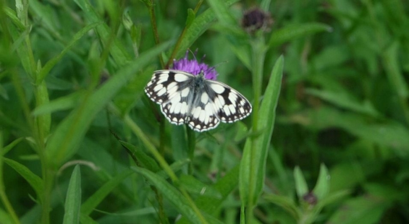 Marbled White Alexandra Park 22 Jun