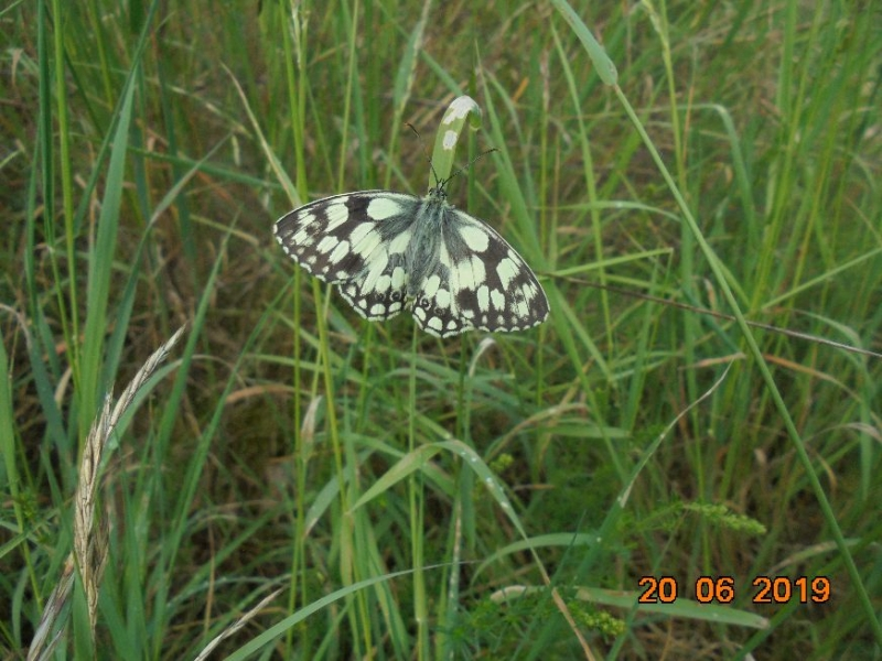 Marbled White Letchworth 20 Jun