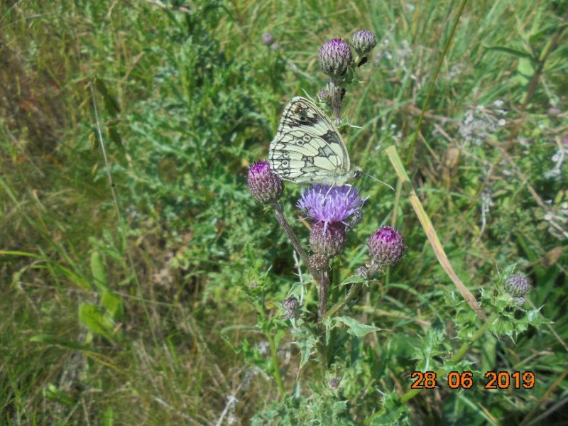 Marbled White Letchworth 28 Jun