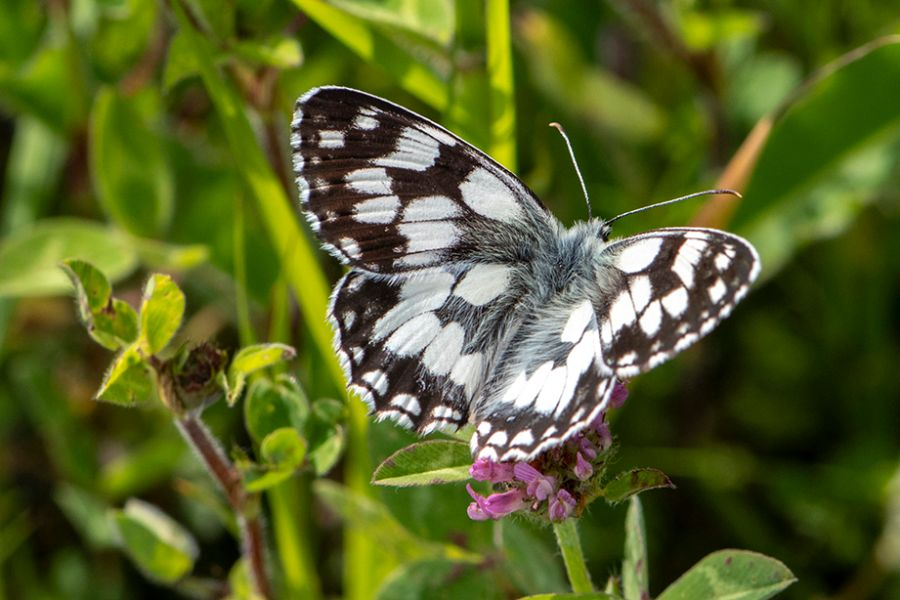 Marbled White Southern Country Park 18 Jun