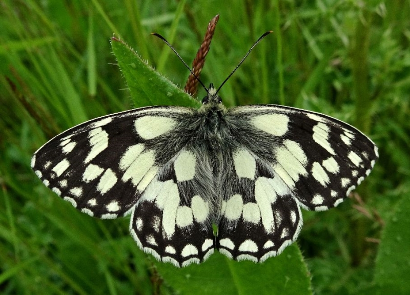 Marbled White Stanwell Moor 25 Jun