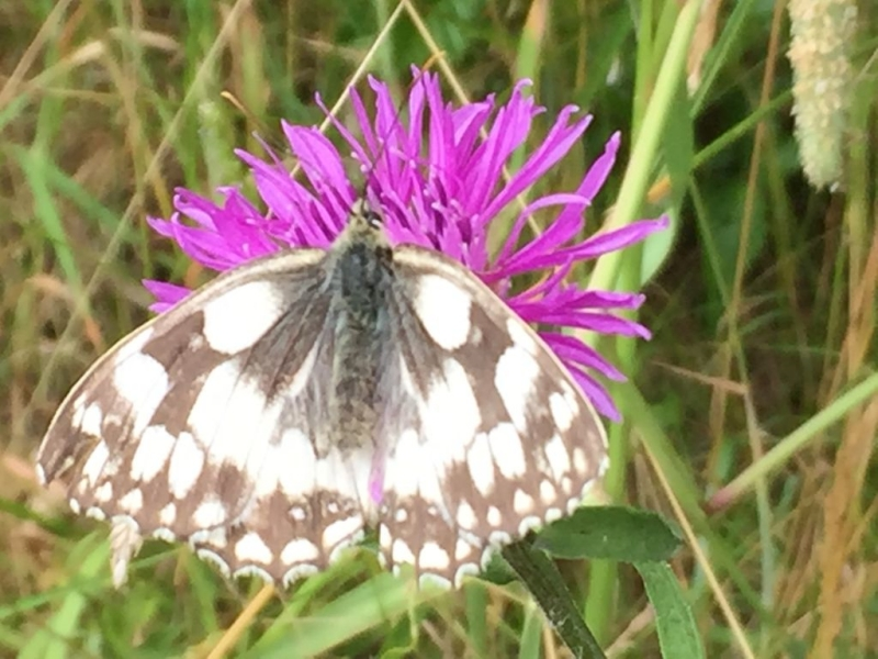 Marbled White Symondshyde 11 Jul
