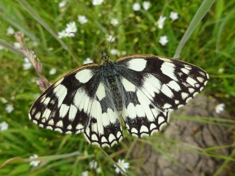 Marbled White Waterford 23 Jun