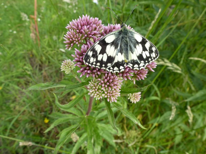 Marbled White Watford 2 Jul