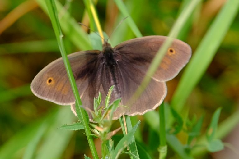 Meadow Brown Alexandra Palace 5 Jun