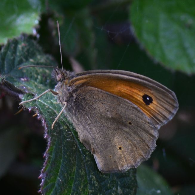 Meadow Brown Bricket Wood Common 1 Jun