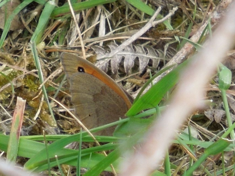 Meadow Brown Bricket Wood Common 30 May