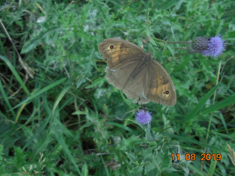 Meadow Brown aberration Purwell 11 Aug