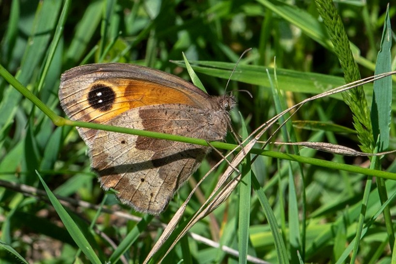 Meadow Brown ab Trimms Green 27 Jun