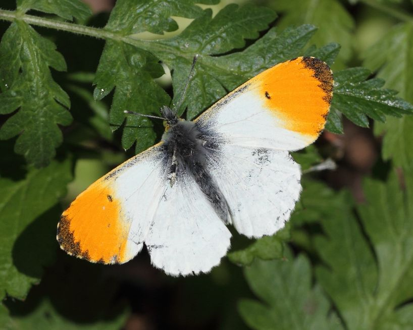 Orange-tip Coppets Wood 12 May