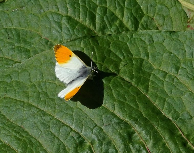 Orange-tip Stanwell Moor 25 Mar