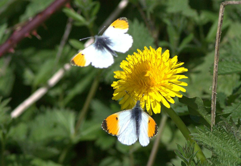 Orange-tips Amwell 10 Apr