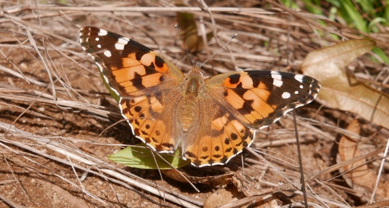 Painted Lady Bengeo 17 Aug