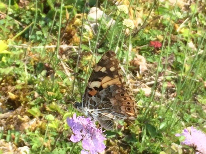 Painted Lady AldburyNowers 23 Jul