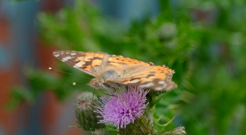 Painted Lady Alexandra Park 24 Jun