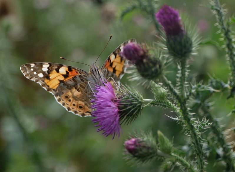 Painted Lady Alexandra Park 2 Aug