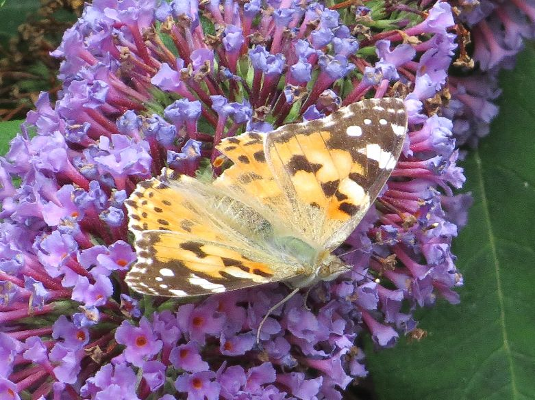 Painted Lady Amwell NR 6 Aug