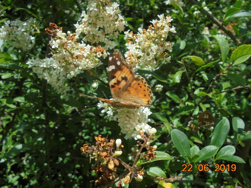 Painted Lady Baldock 22 Jun