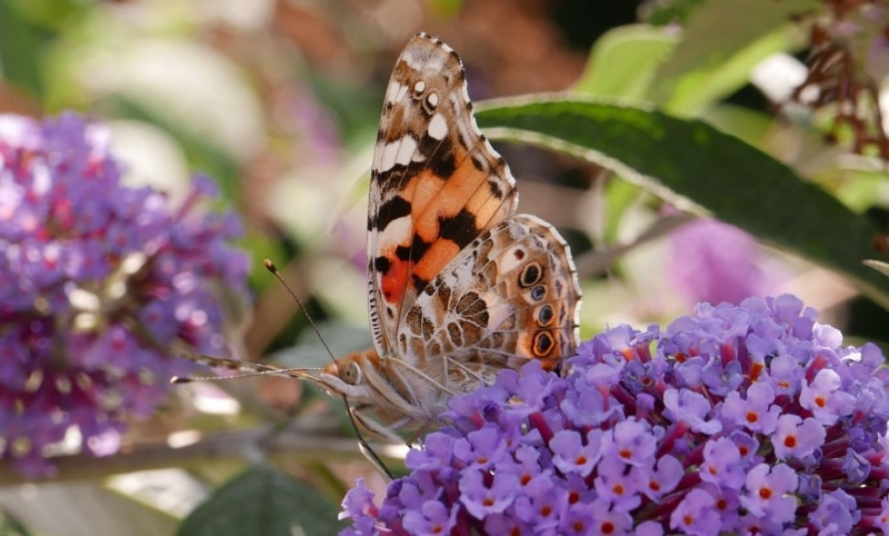 Painted Lady Bengeo 1 Aug