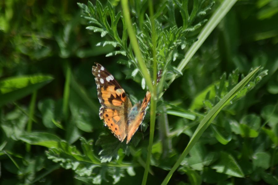 Painted Lady Norton Green 6 Jun