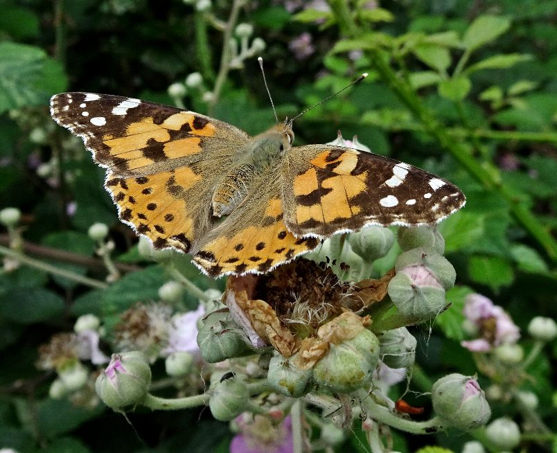 Painted Lady Stanwell Moor 25 Jun