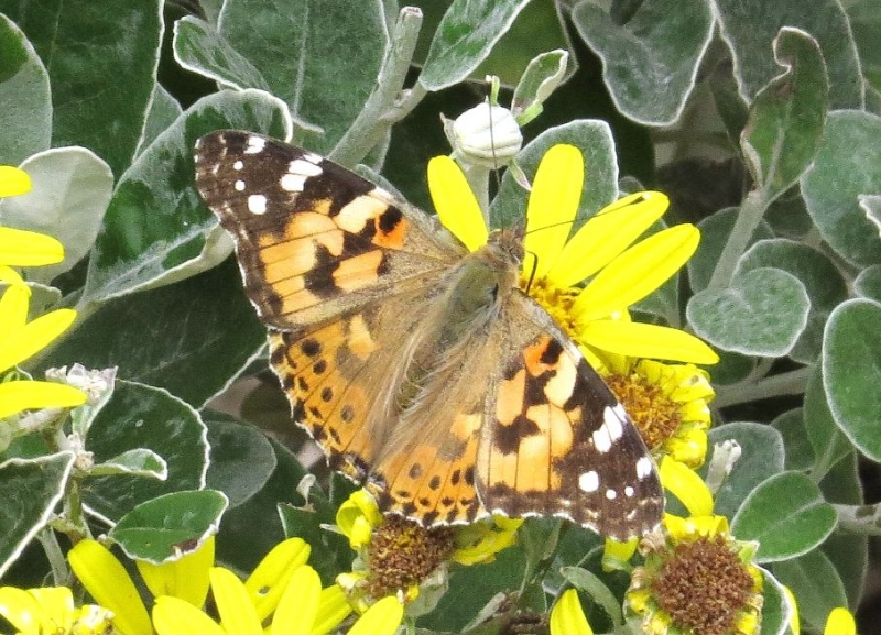 Painted Lady Watford 24 Jun