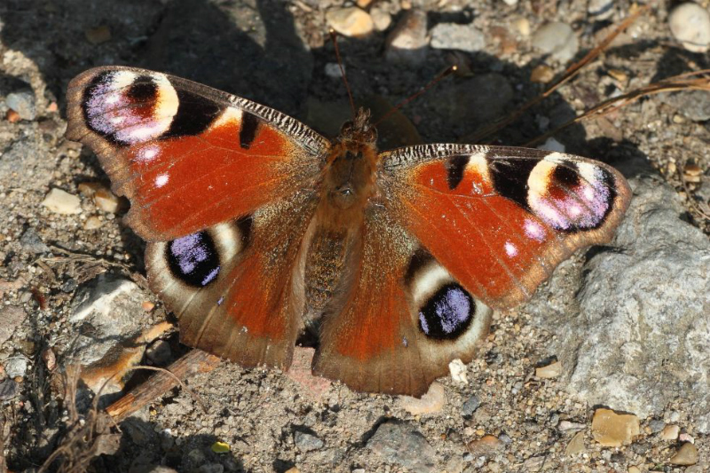 Peacock Coppets Wood 21 Apr