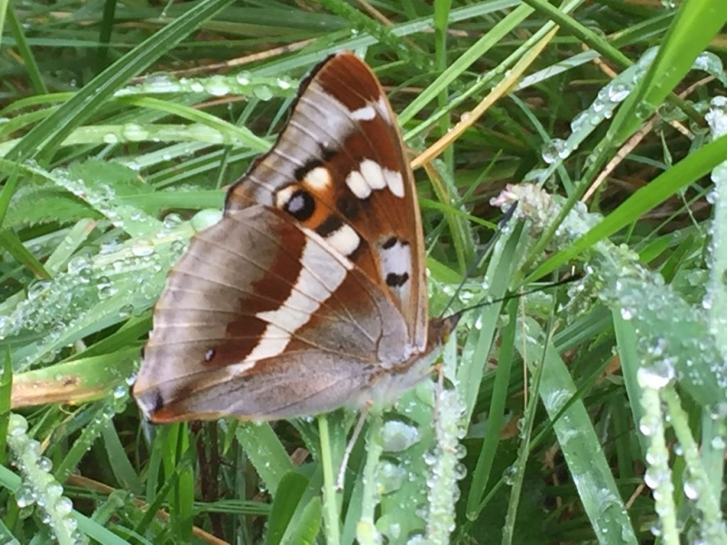 Purple Emperor Bricket Wood Common7 Jul