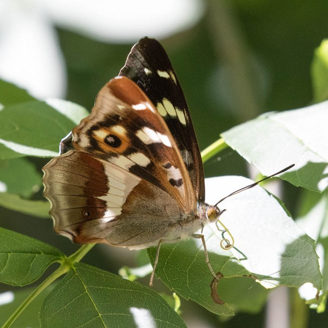 Purple Emperor Heartwood Forest 5 Jul